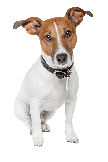 Jack Russell - Beds, Collars and Accessories