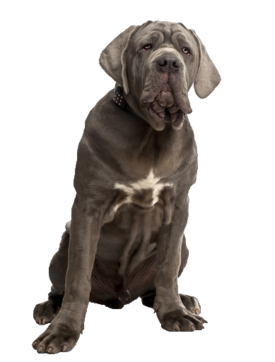 Neapolitan Mastiff - Beds, Collars and Accessories