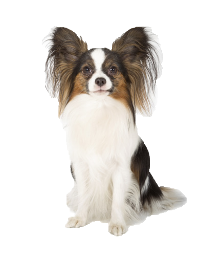 Papillon - Beds, Collars and Accessories