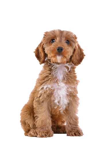 Image result for Cockapoo png