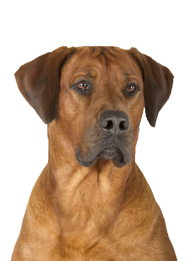 Rhodesian Ridgeback - Beds, Collars and Accessories