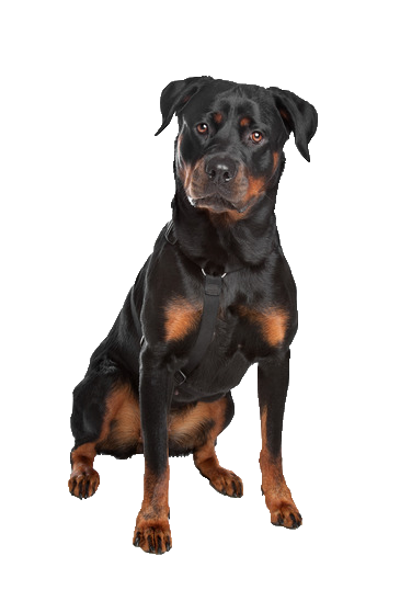 Rottweiler - Beds, Collars and Accessories