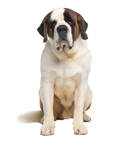 Saint Bernard - Beds, Collars and Accessories
