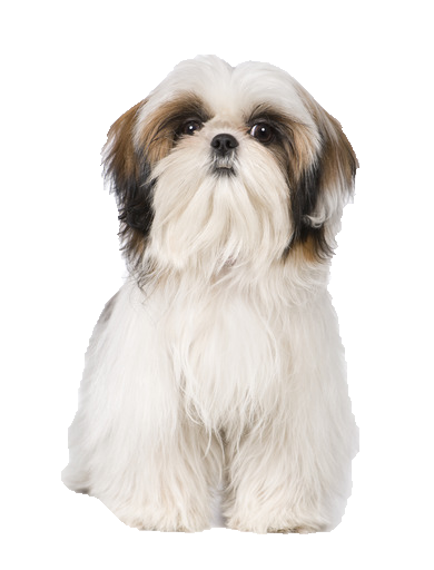 Collars And Beds For Shih Tzu S Shih Tzu Accessories