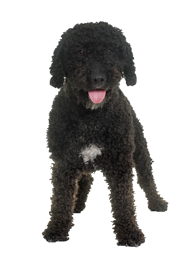 Portuguese Water Dog - Beds, Collars and Accessories