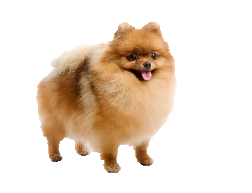 Pomeranian - Beds, Collars and Accessories