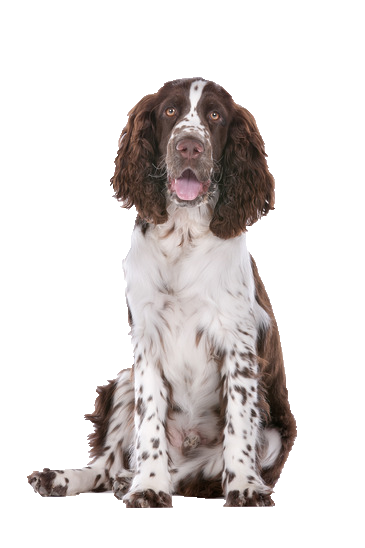 Springer Spaniel - Beds, Collars and Accessories