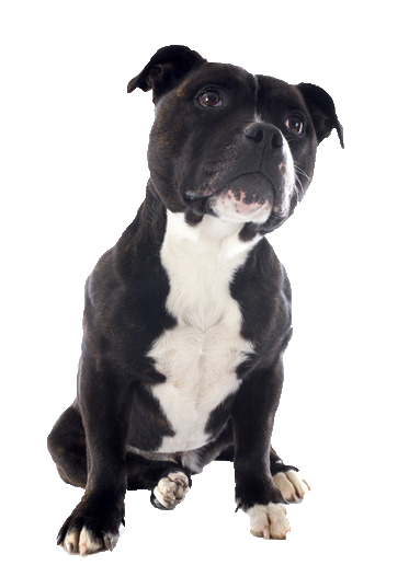 Staffordshire Bull Terrier - Beds, Collars & Accessories