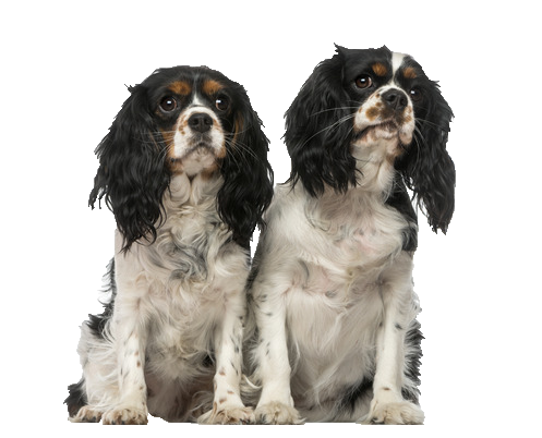 Cavalier King Charles Spaniel - Beds, Collars & Accessories