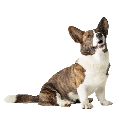 Cardigan Welsh Corgi - Beds, Collars and Accessories