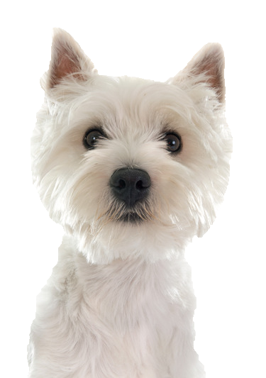 West Highland Terrier Brown Beds and Collars...