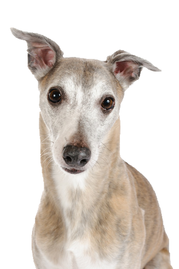 Whippet - Beds, Collars and Accessories