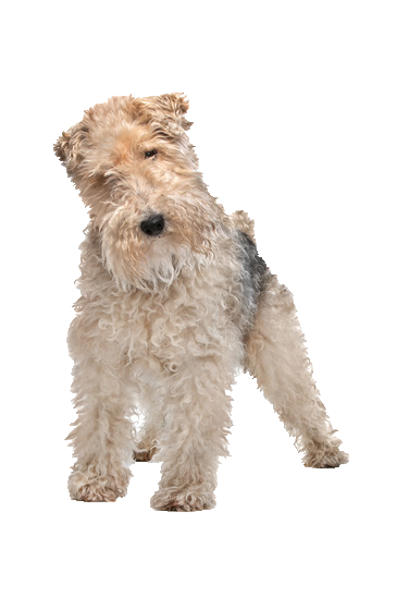 Wire Fox Terrier - Beds, Collars and Accessories