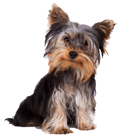 Yorkie - Beds, Collars and Accessories
