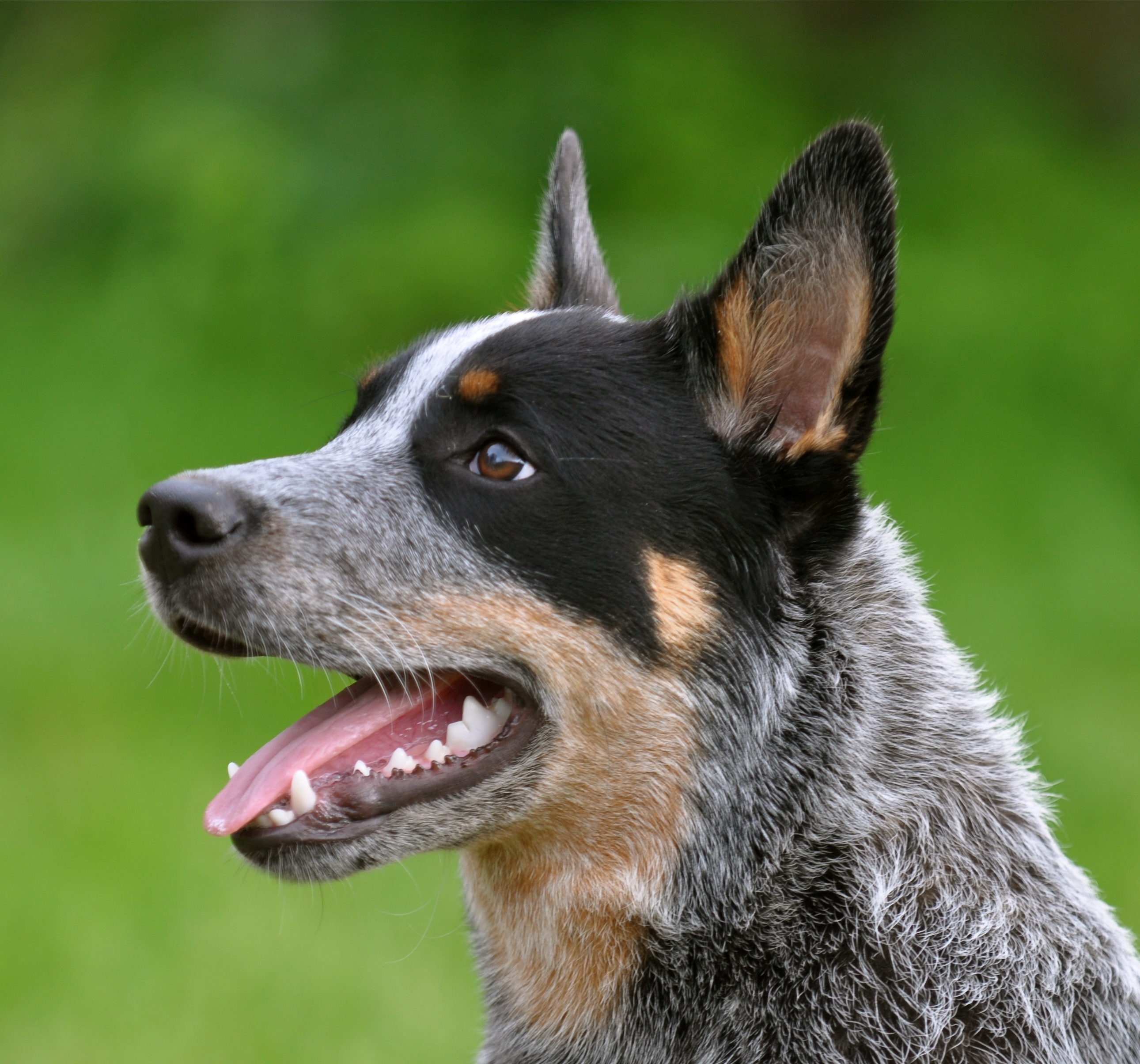 White Australian Cattle Dog Puppy