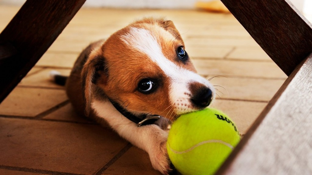 Cute Dog Playing With The Tennis Ball 1280x720