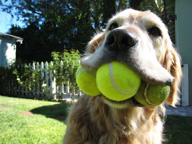 yellow lab with 3 tennis balls