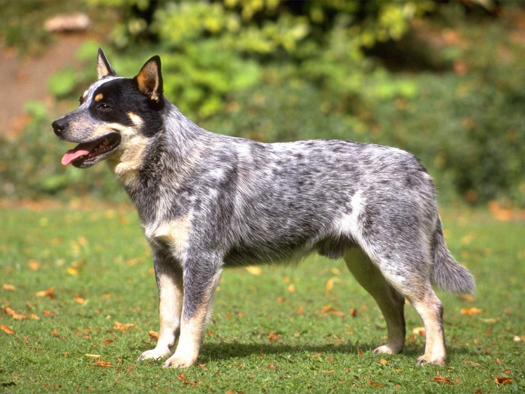 Australian Cattle Dog smartest dog breeds