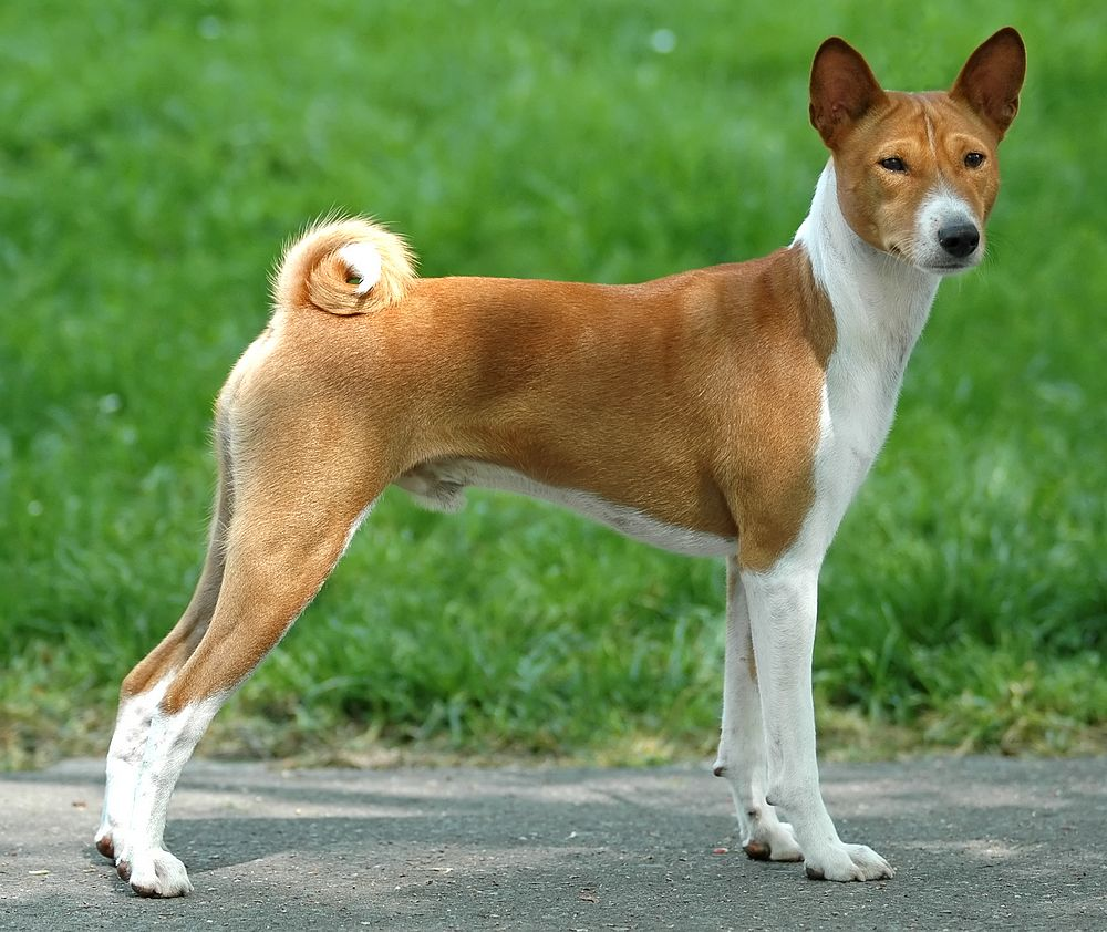 Basenji top 10 dumbest dog breeds