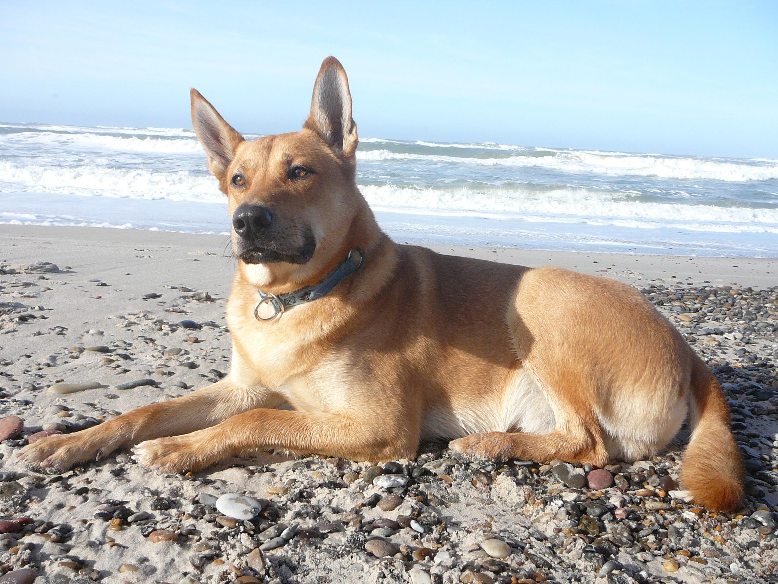 Carolina Dog rare dog breeds