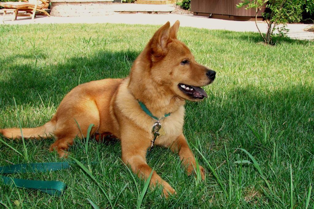 Finnish Spitz rare dog breeds