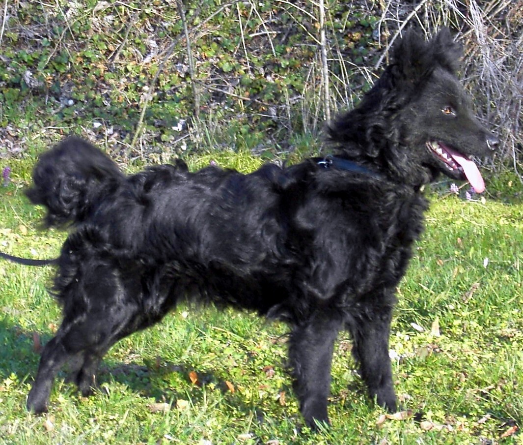 Hungarian Mudi rare dog breeds