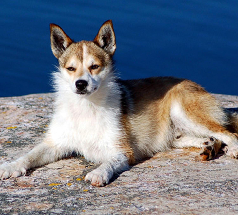 Norsk Lundehund rare dog breeds