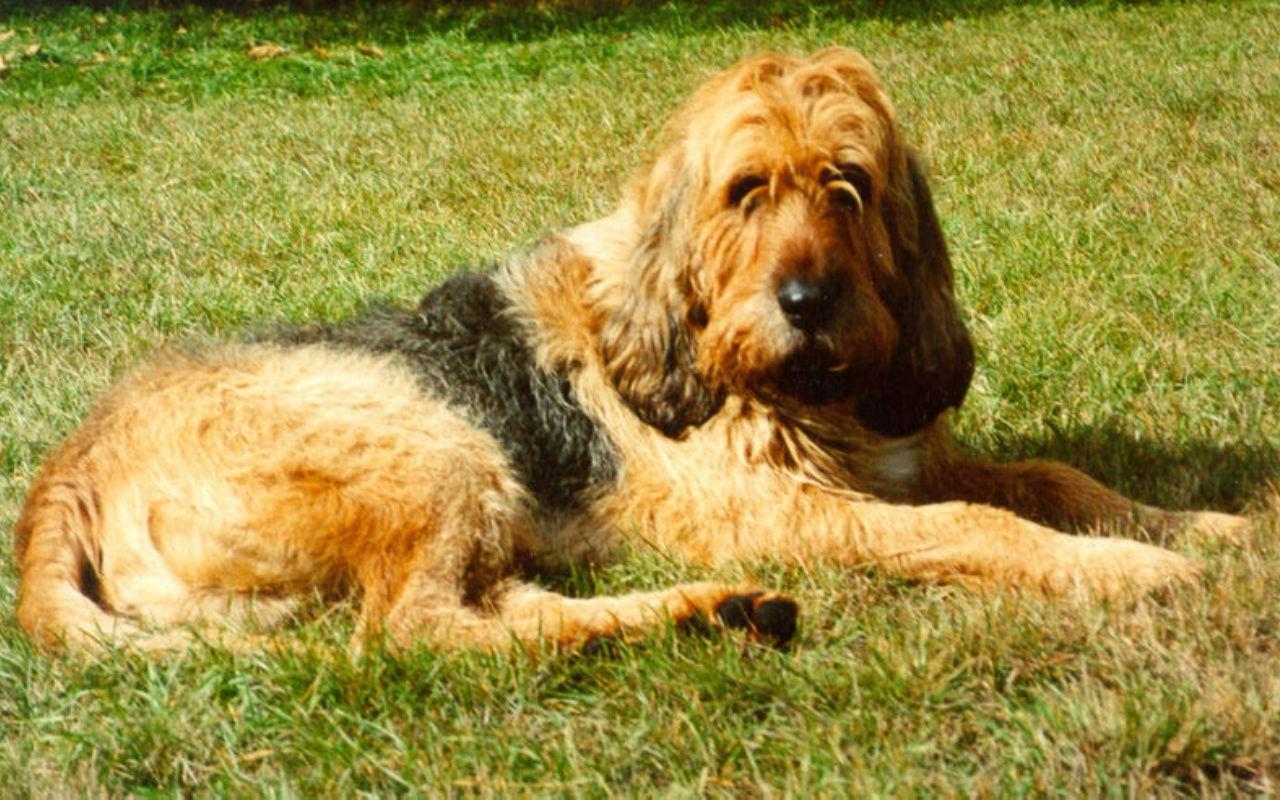 Otterhound rare dog breeds