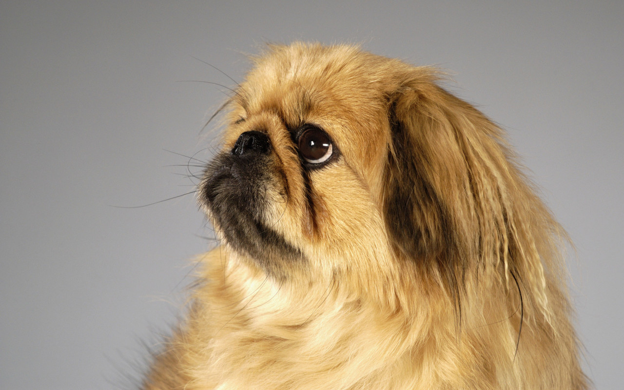 Pekingese dumbest dog breeds