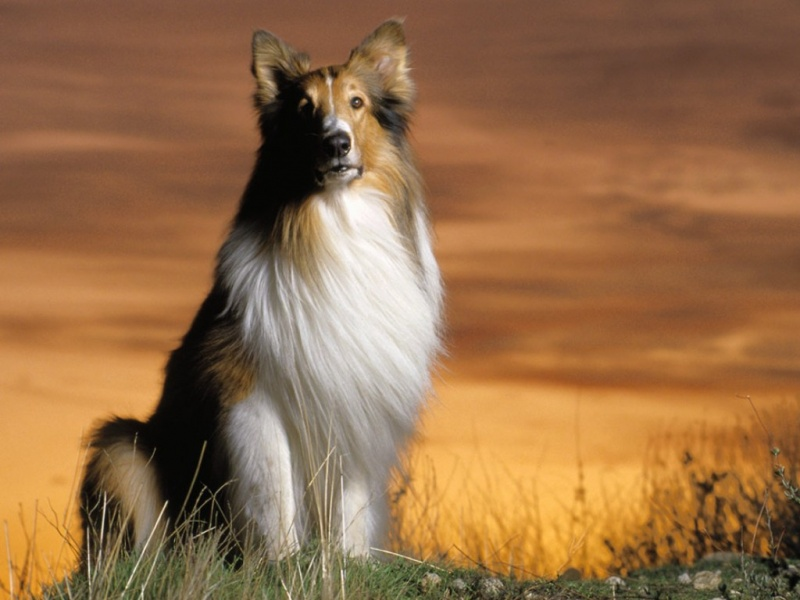 Shetland Sheepdog smartest dog breeds