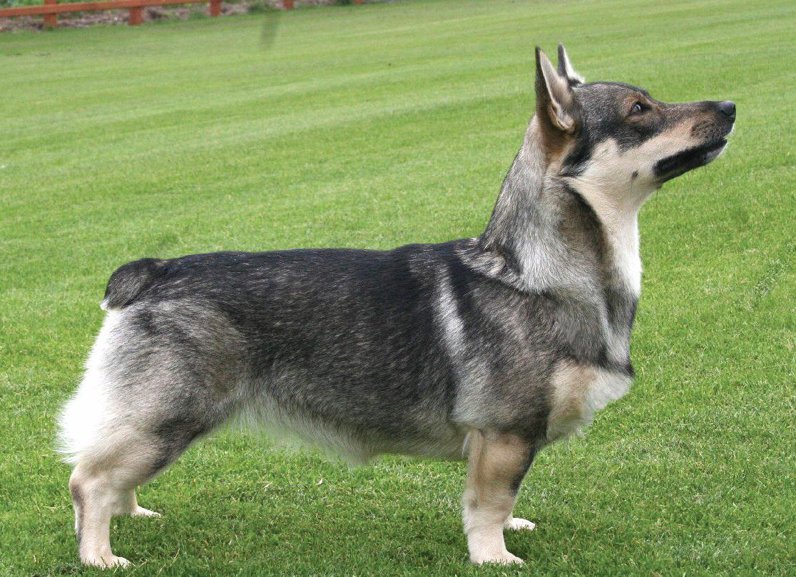 Swedish Vallhund rare dog breeds