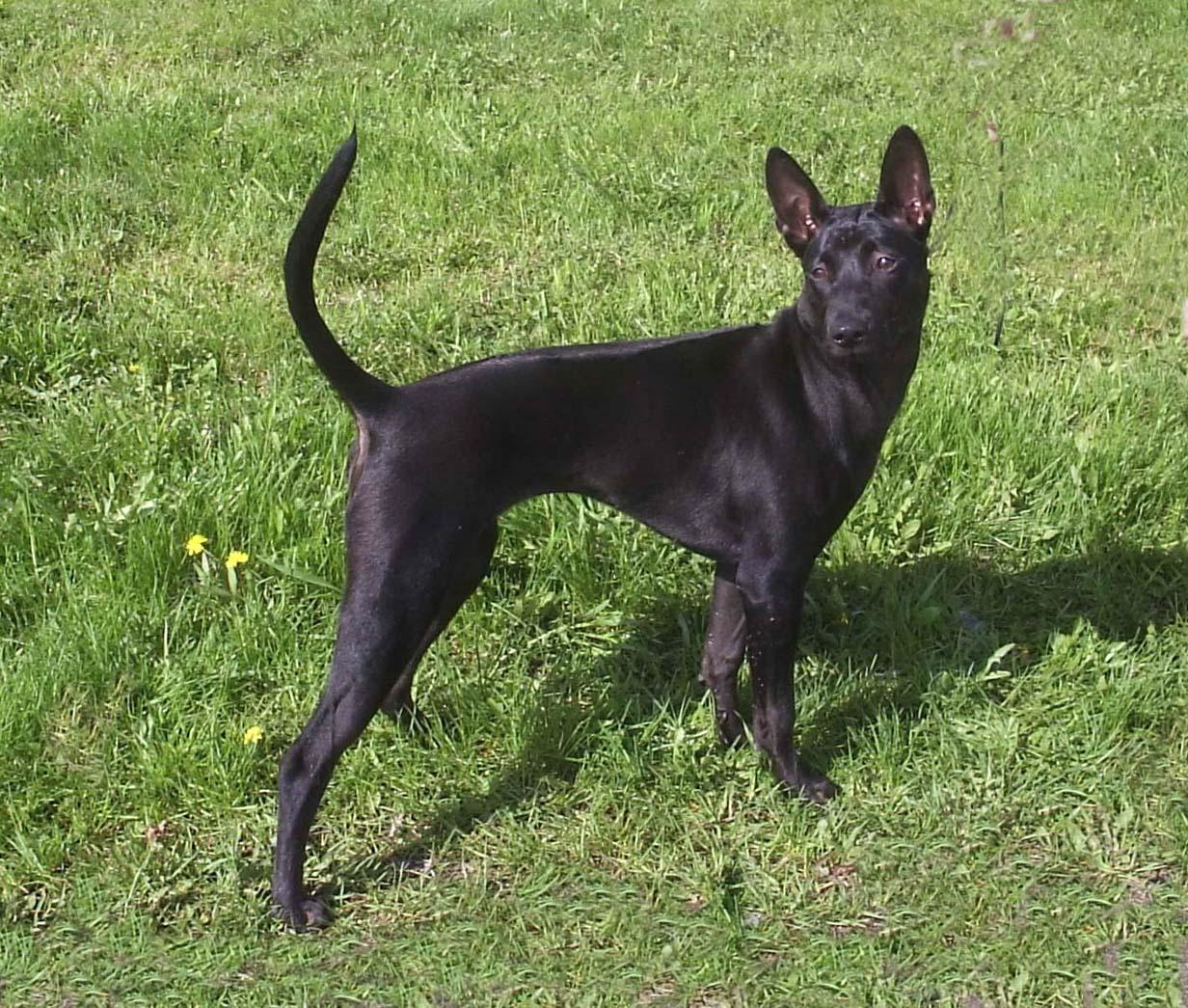 Thai Ridgeback rare dog breeds