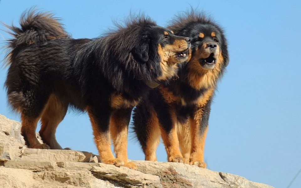 Tibetan Mastiff rare dog breeds