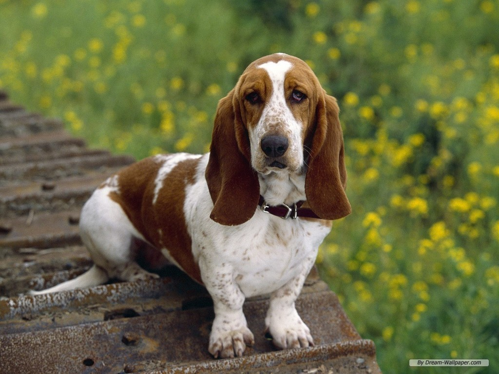 bassett hound dumbest dog breeds