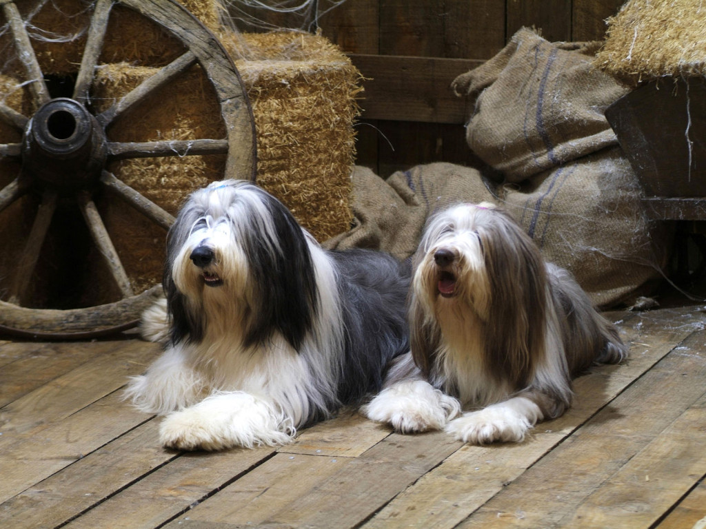 bearded collie expensive dog breeds