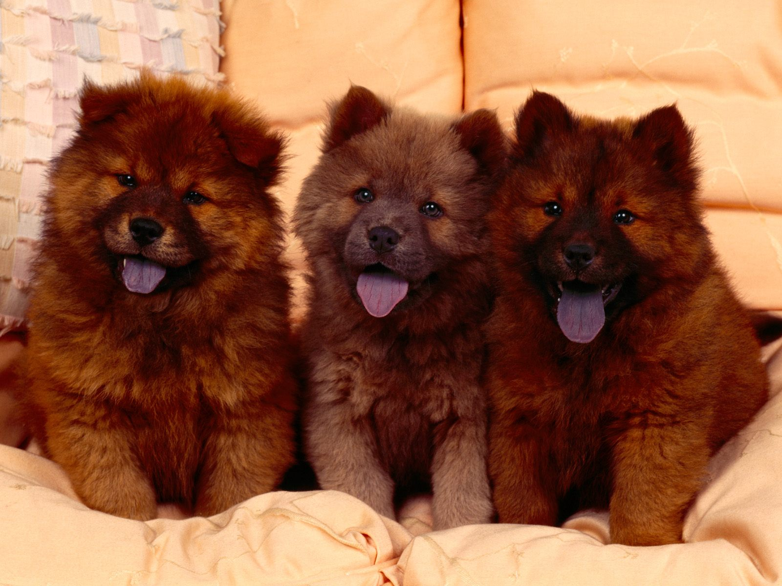 chow chow dumbest dog breeds