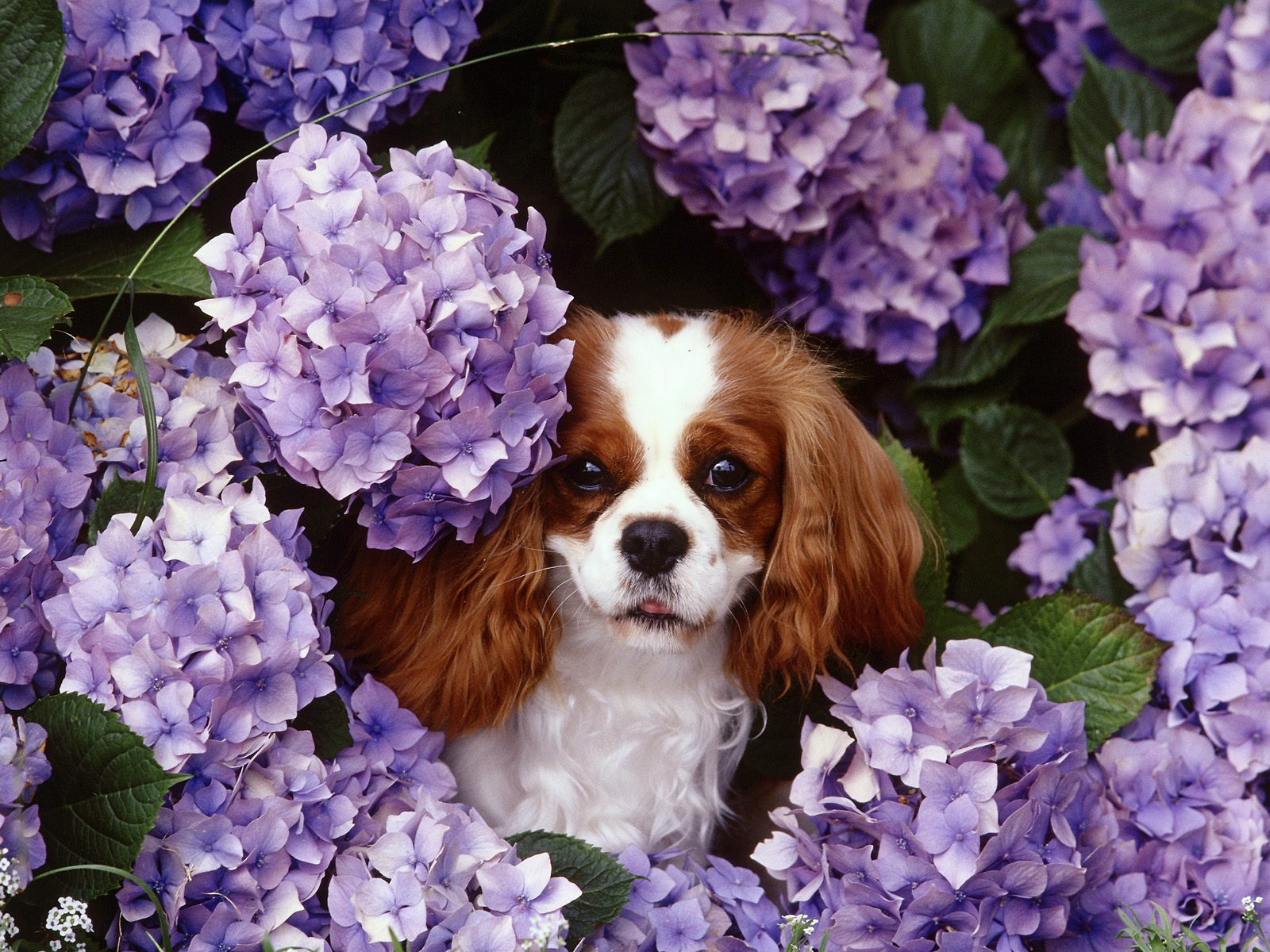 king charles cavalier expensive dog breeds