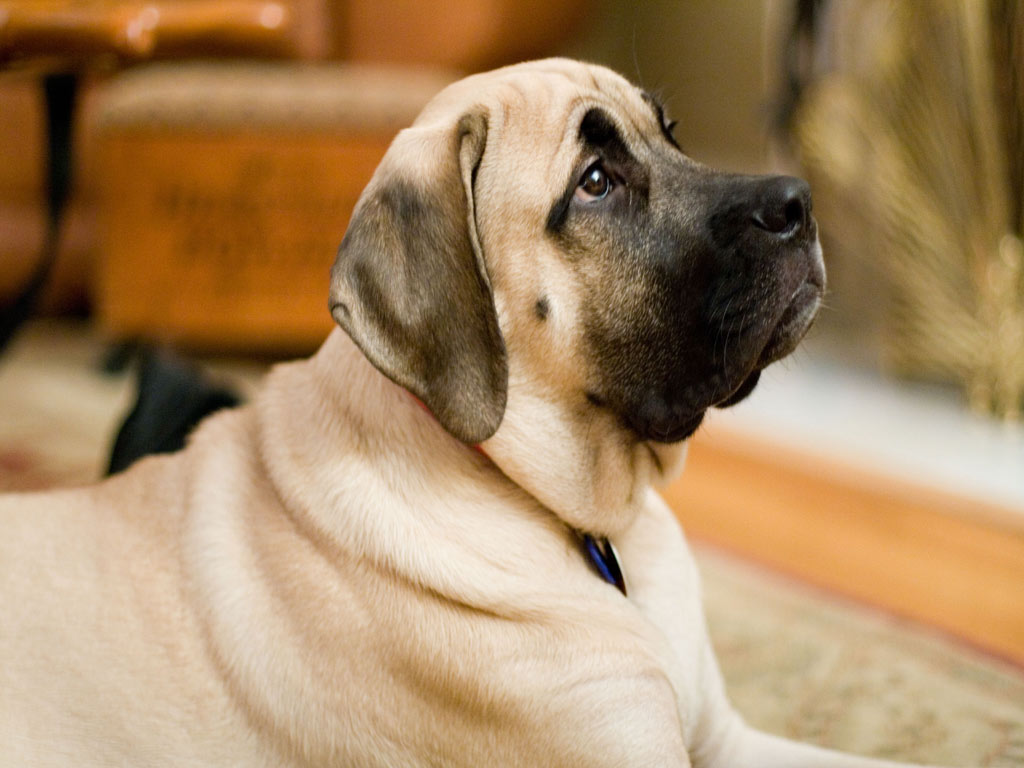 mastiff dumbest dog breeds
