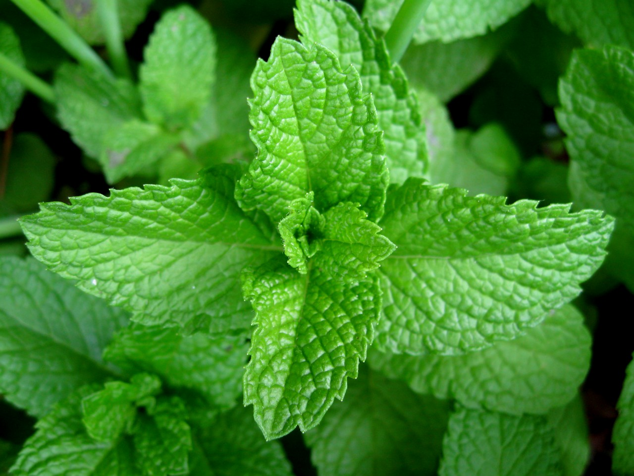 mint good for dogs
