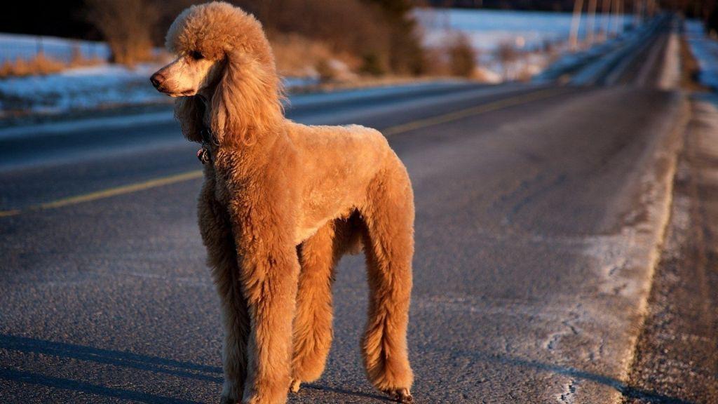 poodle smartest dog breeds