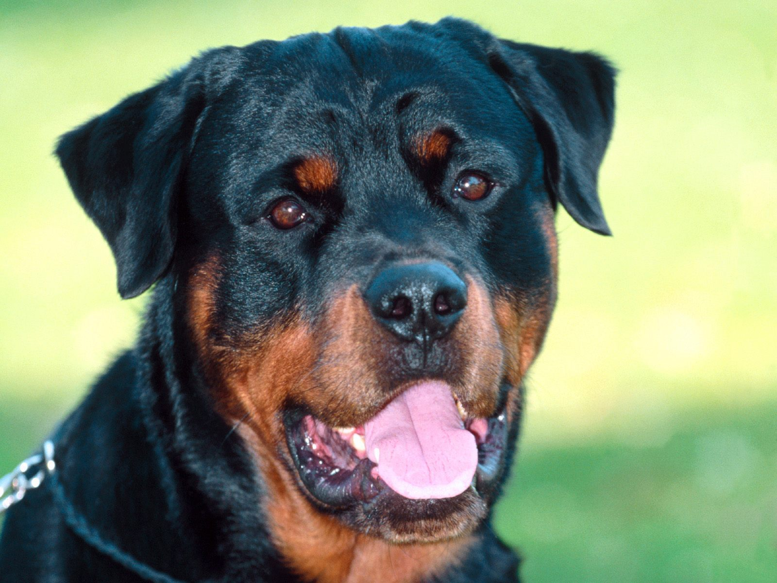 rottweiler expensive dog breeds