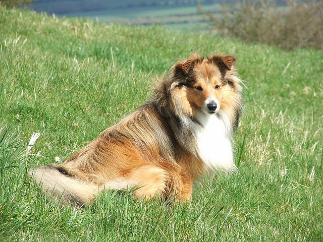 Shetland Sheepdog easy to train dog breed