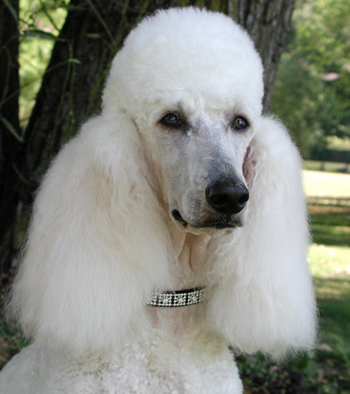 Poodle easy to train dog breed