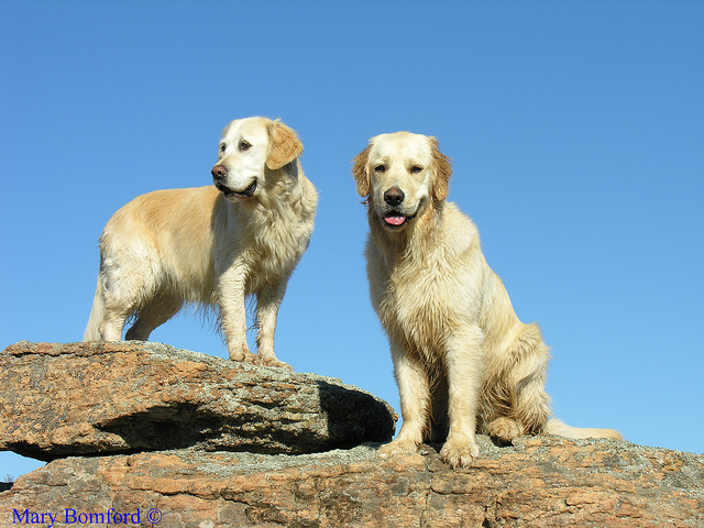 Golden Retriever Easy To Train Dog Breed