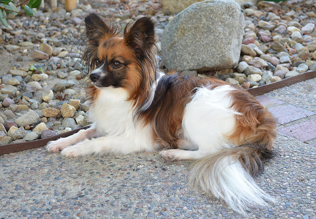 Papillon dog breed easy to train