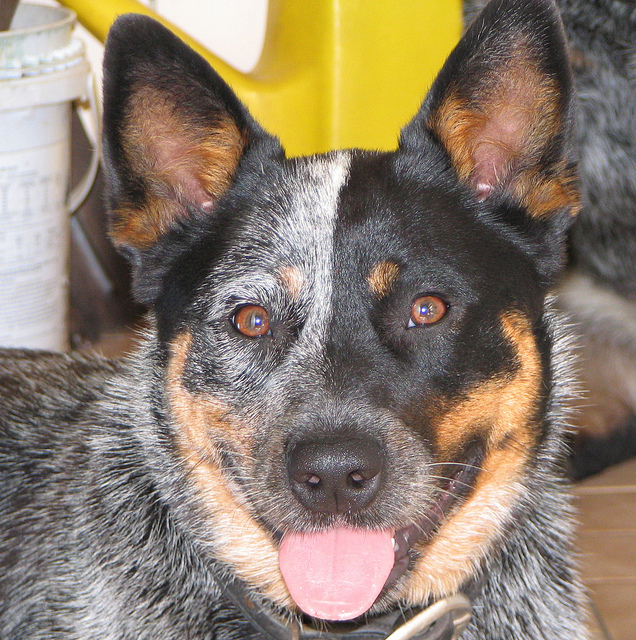 Australian Cattle Dog Easy To Train Dog Breed