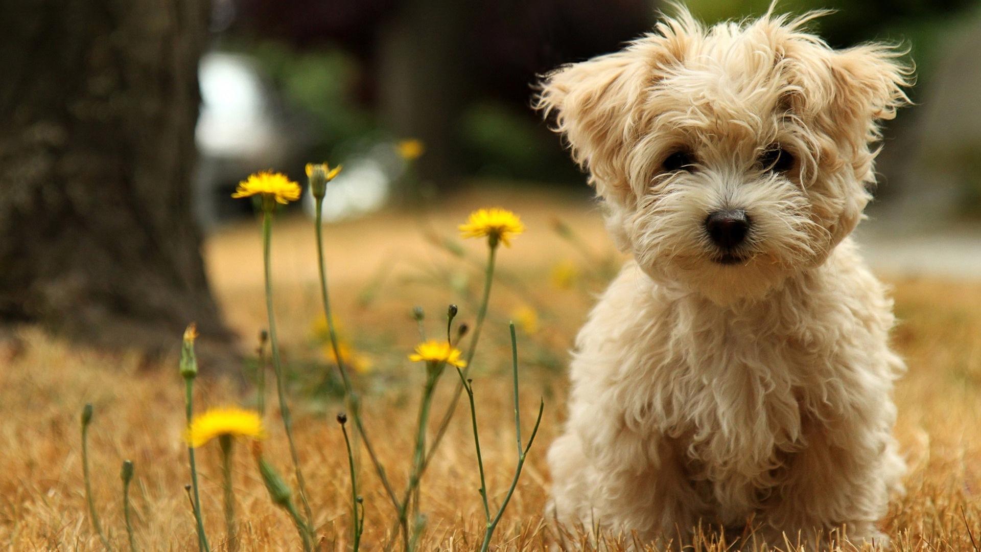havanese dog breed little or no shedding