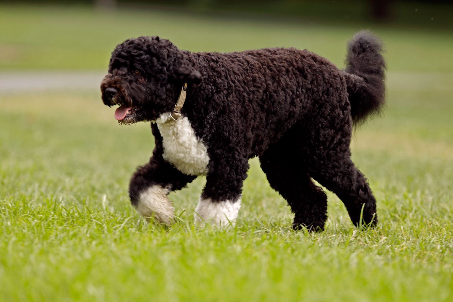 portuguese water dog little or no shedding dog breed