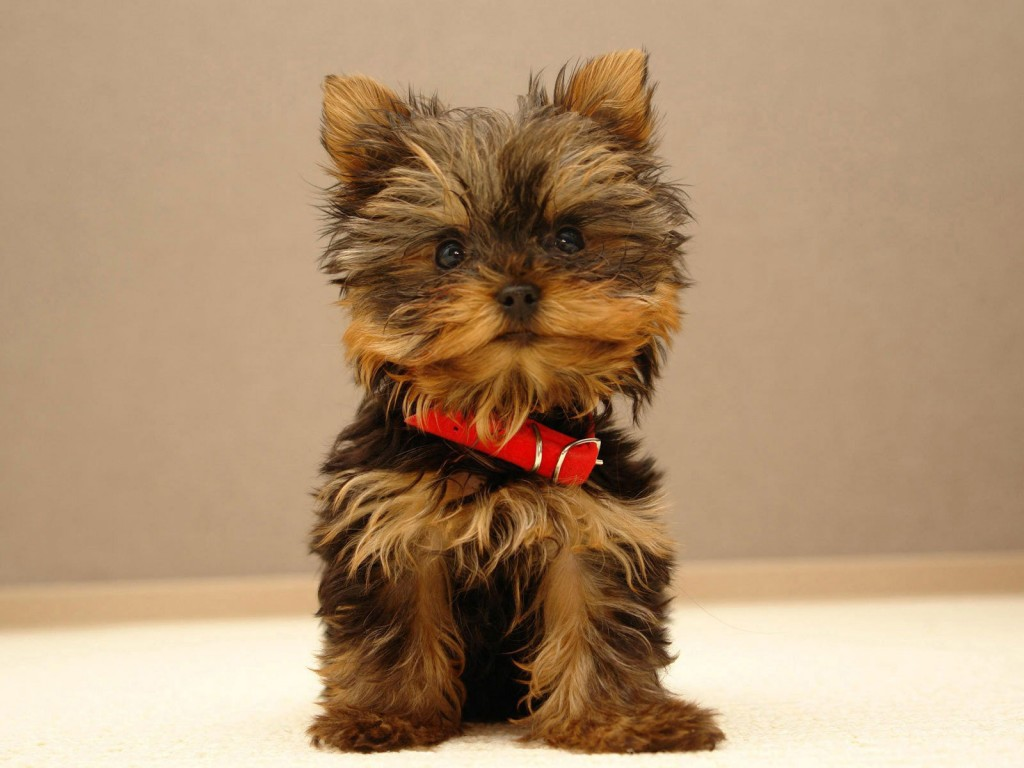 yorkshire terrier dog breeds top 10 dog breeds with little to no shedding 1368