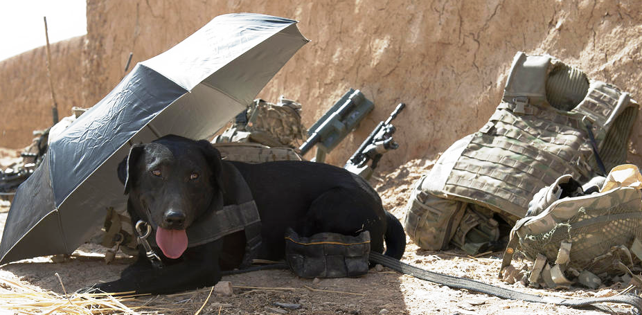 Military-working-dogs-these-special-pooches-need-extra-care-like-this-dog-had-on-patrol-Jamie-Peters-26-Oct-12